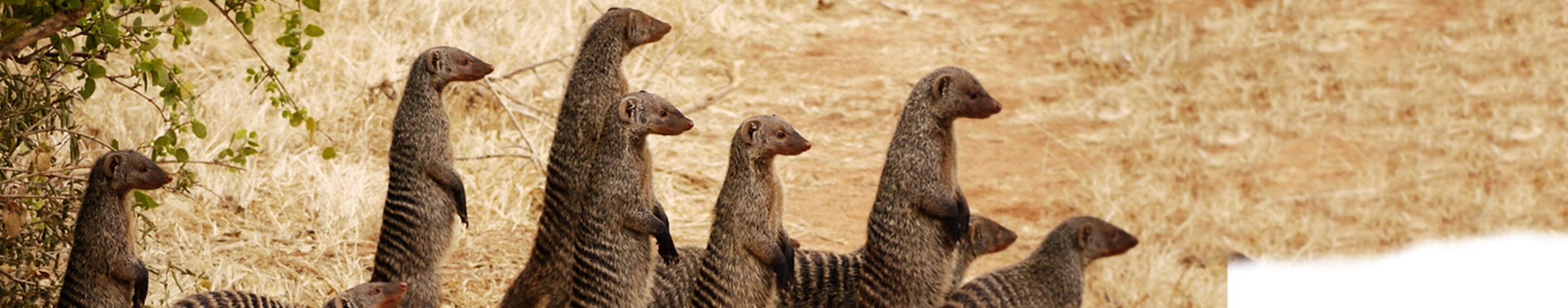 Group of Mongooses